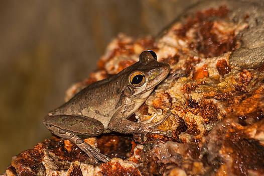 A Cuban Tree Frog  by Ed Gleichman