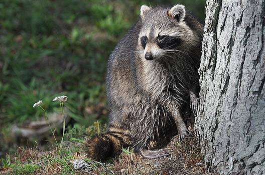 A Curious Raccoon by Lisa DiFruscio