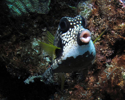 A Curious Smooth Trunkfish by Barbara Petersen