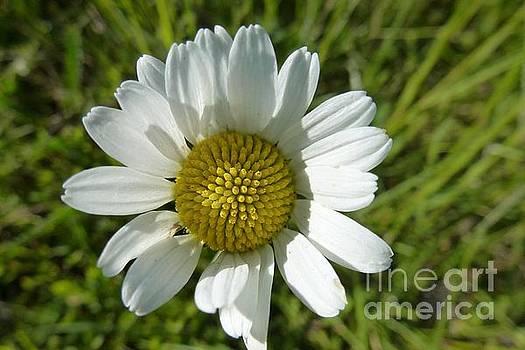 A Daisy by Jean Bernard Roussilhe