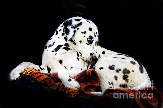 A Dalmatian Prince by Blair Stuart