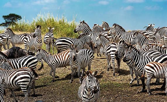 A Dazzle of Zebras by Pravine Chester