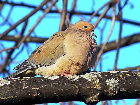 A Dove by Irfan Gillani