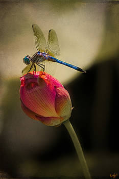 Chris Lord - A Dragonfly Rests Momentarily On A Lotus Bud