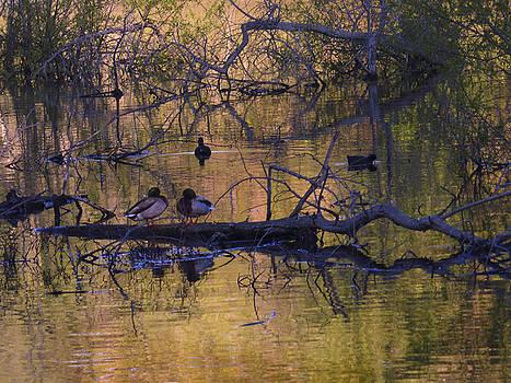 Ducks Love Spot by Natalya Shvetsky