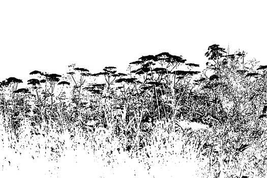 Sandra Foster - A Field Of Wild Cow Parsnip