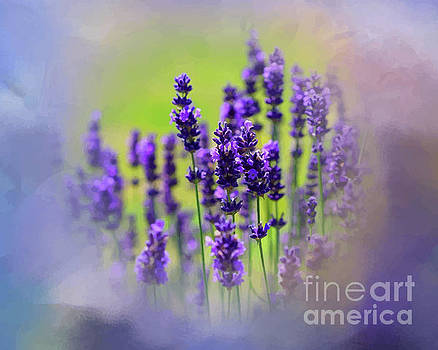 A Field Of Wild Lavender by Clive Littin