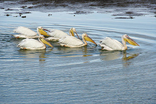Michele Burgess - A Flotilla of Pelicans