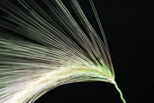 Sandra Foster - A Foxtail Seed In Flight - Macro