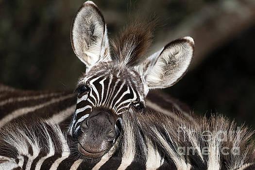 RicardMN Photography - A funny zebra in Ngorongoro Crater