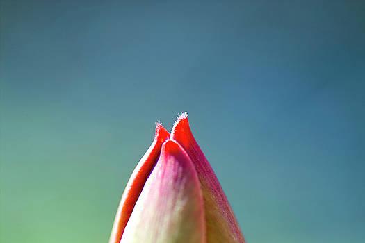 Heiko Koehrer-Wagner - A glimpse of a tulip