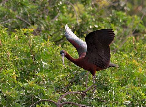 Patricia Twardzik - A Glossy Ibis Roosting Up High