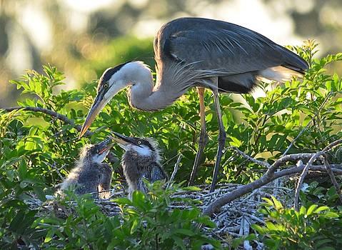 Patricia Twardzik - A Great Blue Heron Family on a Great Nest