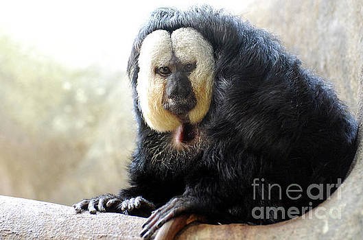A Great Look at a White Faced Saki Monkey by DejaVu Designs