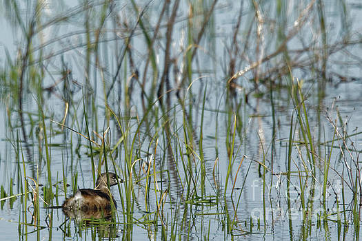 A Grebe in the Folliage by Natural Focal Point Photography