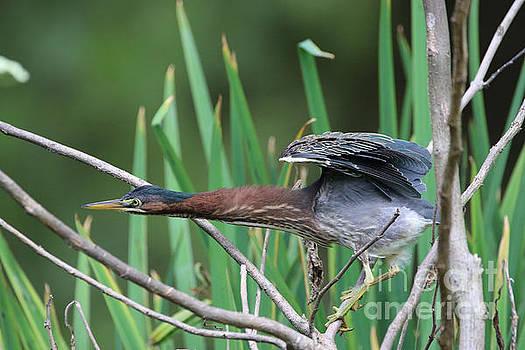 A Green Heron Strikes by Rachel Morrison
