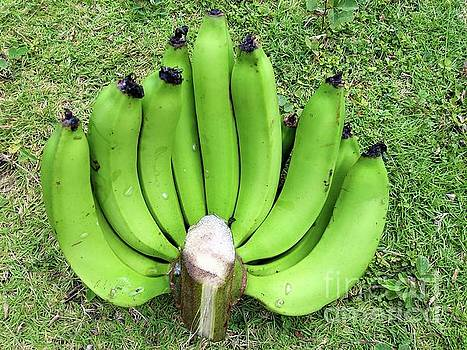 A Hand of Green Bananas on the Lawn by Denise Crawford