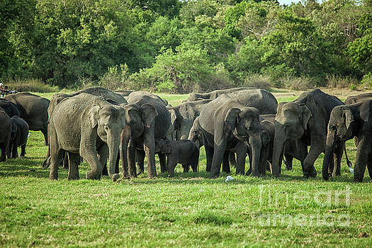Patricia Hofmeester - A herd of elephants with young
