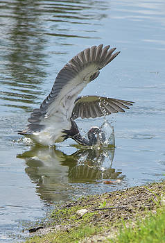 A Heron Miss by William Tasker