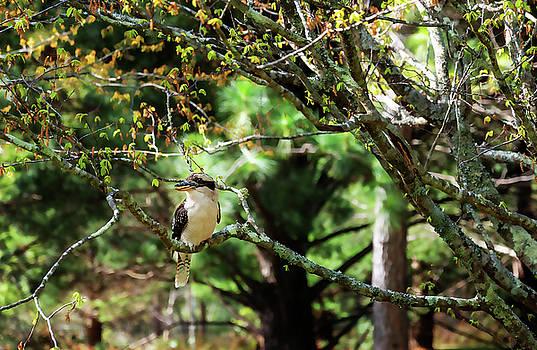 A Kookaburra at Mount Tomah Botanic Garden, Australia by Daniela Constantinescu