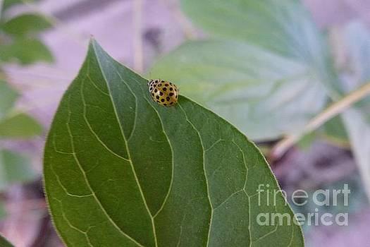 A Ladybug by Jean Bernard Roussilhe