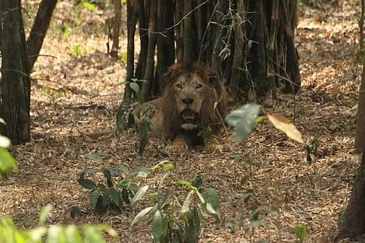 A Lion by Siddarth Rai