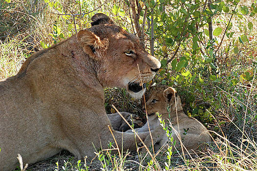Harvey Barrison - A Lion with her Cub