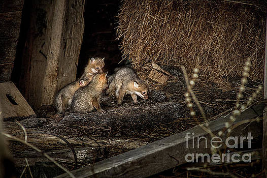 Kim Clune - A Litter of Fox Kits
