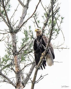 A Little Worse for Wear - Eagle by Jan Mulherin