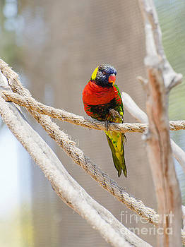 A Lorikeet from the Rainforest by MaryJane Armstrong