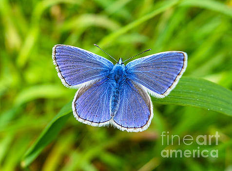 A male Common Blue butterfly England UK by John Keates