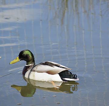 A Mallard Duck by Carol Lynch