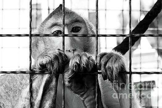 A monkey by Pongsak Deethongngam
