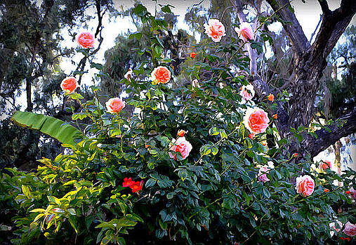 Glenn McCarthy Art and Photography - A Natural Rose Spray