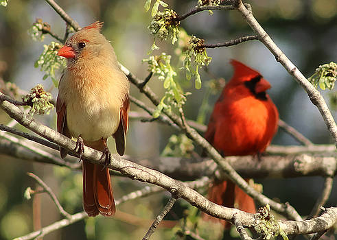A Pair of Northern Cardinals by TnBackroadsPhotos