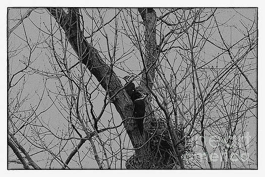 A Pair of Pileated Woodpeckers Black and White by Karen Adams