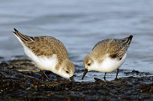 A Pair of Sanderlings Share by Hui Sim
