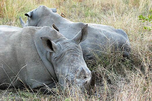 Harvey Barrison - A Pair of White Rhinoceroses