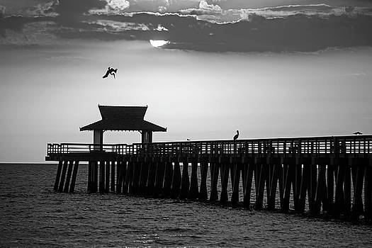 Toby McGuire - A pelican dive-bomb at the Naples Pier Naples FL Black and White