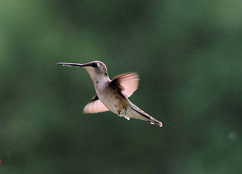 A perky little Hummer by Jeff Swan