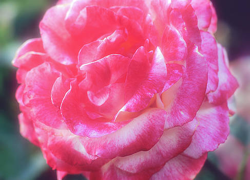 A Pink Rose by John Brink