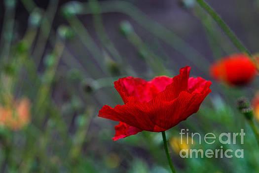 A Poppy Flower by Irina Gladkaja