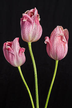 James BO  Insogna - A Portrait Of Three Pink Tulips
