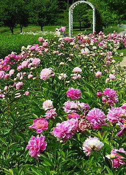 A Pretty Patch of Peonies by Lori Frisch