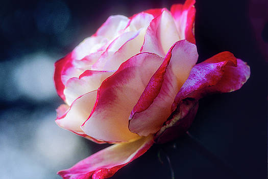 A Red and White Rose by John Brink