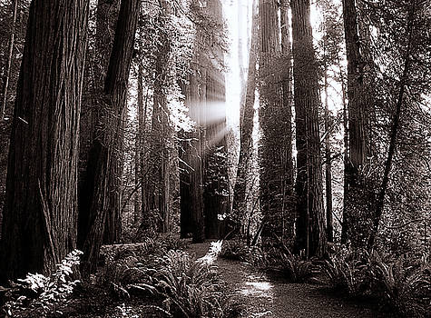 A Redwood Forrest  by Thomas Bomstad