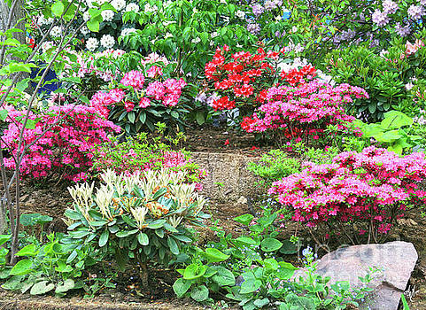 A Rhapsody of Rhododendrons by Victoria Harrington