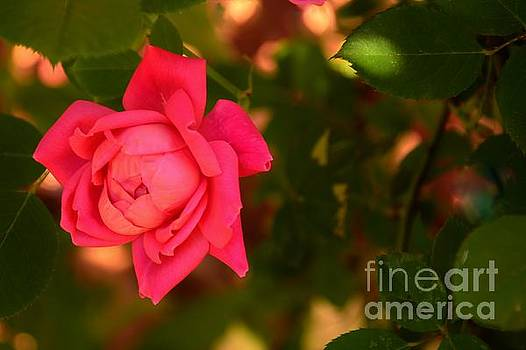 Bob Sample - Reddish Pink Rose In The Shadows