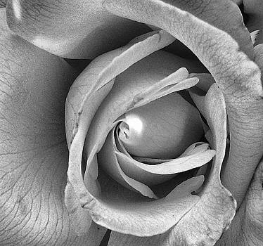 A Rose is a rose is a rose by Deb Ingram
