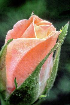 A Rose is a Rose by Winnie Chrzanowski